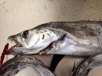 淡路島津名漁港 タチウオ釣り