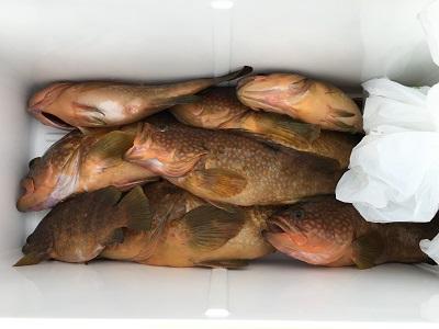 福井ボート釣りアコウ大漁