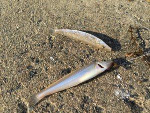 由良川河口 キス釣り 投げ釣り