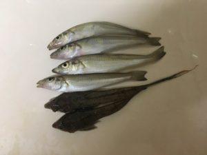 香住西港 釣り キス釣り ツバス (2)