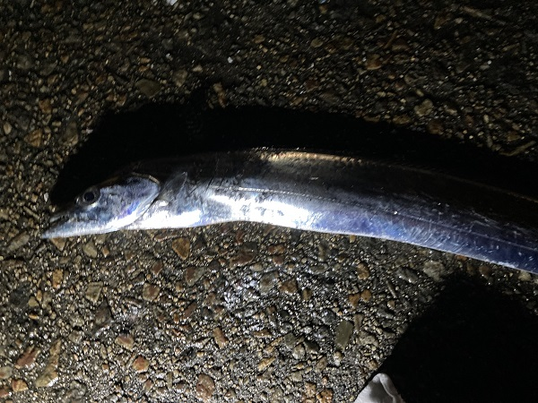 香川釣り タチウオ釣り サバ釣り